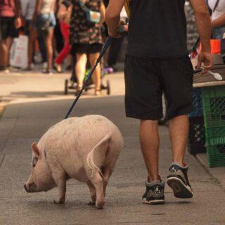 свинка в Торонто